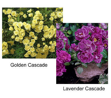Cottage Farms Choice of 6-piece Groundcover Roses - M26730