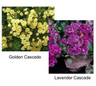 Cottage Farms 6-piece Groundcover Roses