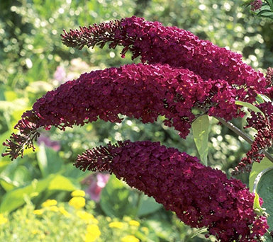 Cottage Farms Cranrazz Butterfly Bush Patio Tree - M57031