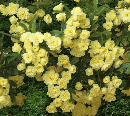 Cottage Farms 6-piece Cascade Groundcover Golden Roses