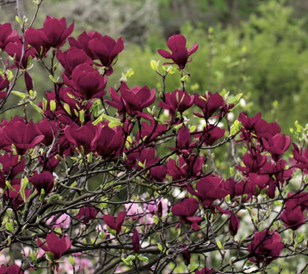 Cottage Farms Wonder of Nature Genie Magnolia