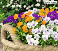 Roberta's 6-piece Fragrant Penny Series Viola