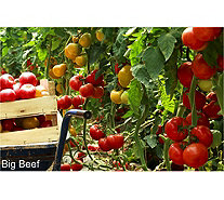 Cottage Farms Mighty Mato Grafted Tomato Plant Duo - M50134
