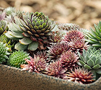 Roberta's 9-piece Hardy Succulent Trio Collection - M53134