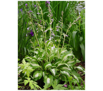 Roberta's 6 Piece Mediovariegata Small Hosta - M105735