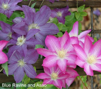 Cottage Farms Dazzling Design Clematis Duo - M49035