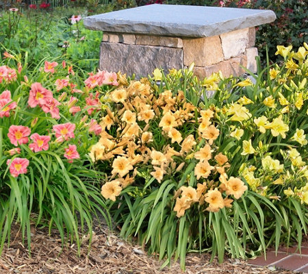 Cottage Farms 6-piece Summer Perfume Daylily Collection