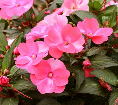 Cottage Farms 6-Piece Paradise Pink SunPatiens