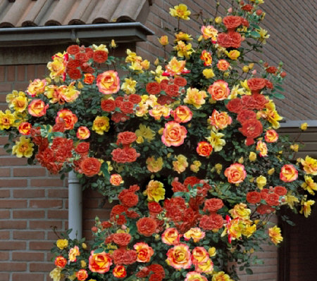 Cottage Farms Pinata Climbing Rose