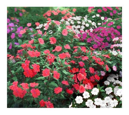 Cottage Farms 6 Piece Passion Sunpatiens Collection Page
