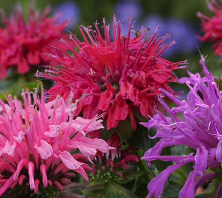 Cottage Farms 2-piece Tricolor Monarda Collection