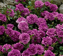 Cottage Farms 6-Piece Cascade Groundcover in Lavender - M46540