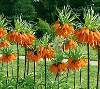 Roberta's 4 Piece Crown Imperial Fritillaria Collection - M50843