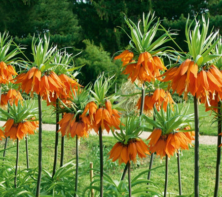 Roberta's 4 Piece Crown Imperial Fritillaria Collection