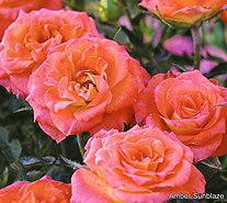 Cottage Farms 4-piece Sunblaze Miniature Rose Collection - M56643