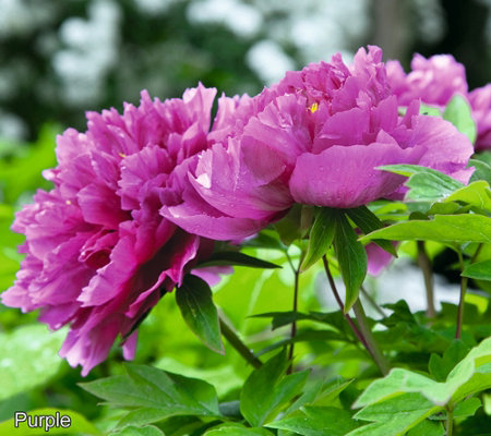 Roberta's 1-pc. Long Lived Ancient Chinese Tree Peony Purple