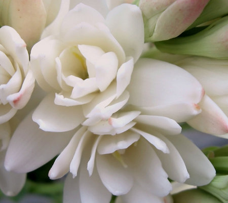 Roberta's 8-piece Double Pearl Tuberose with Flower Magic