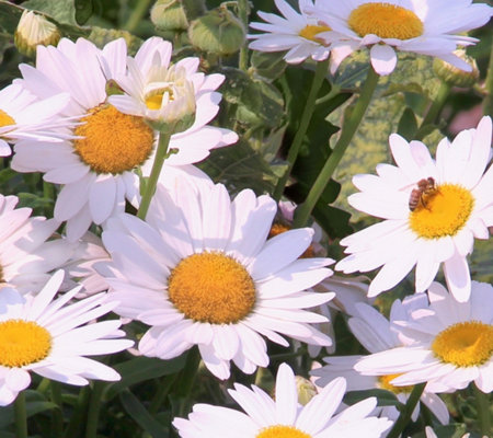 Cottage Farms 4-piece Perpetuals Bright White Shasta Daisy