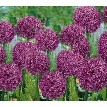 Roberta's 3 Piece Allium Globemaster Collection