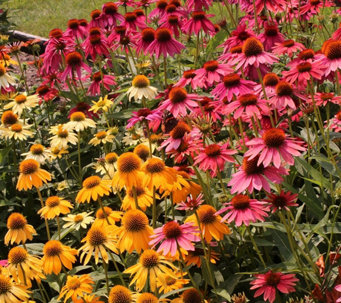 Cottage Farms Perpetuals Rainbow Coneflowers 5-pc Set - M49954