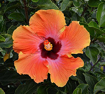 Cottage Farms Fiesta Braided Tropical Hibiscus Patio Tree Page 1