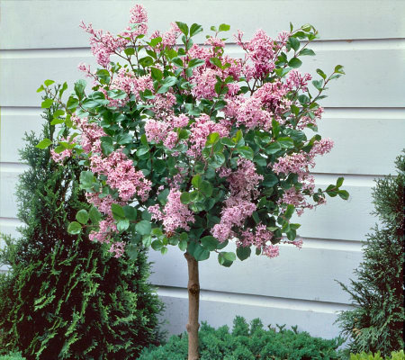 Cottage farms ornamental dwarf lilac tree page 1 for Dwarf flowering trees
