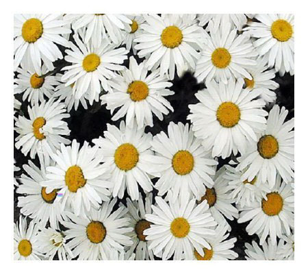 Cottage Farms 3-pc. Leucanthemum Becky Shasta Daisy