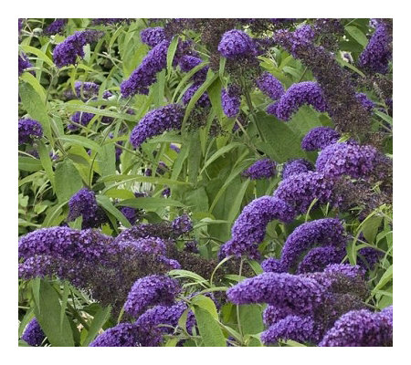 Cottage Farms 3-Piece True Blue Butterfly Bush