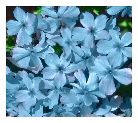 Cottage Farms 9 pc Emerald Blue Carpet Phlox Groundcover