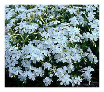 Cottage Farms 9 pc White Delight Carpet Phlox Groundcover - M101965