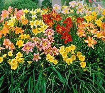 Roberta's 9-piece Immense and Fragrant Reblooming Daylilies - M53066