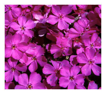 Cottage Farms 9 pc Emerald Pink Carpet Phlox Groundcover - M101967