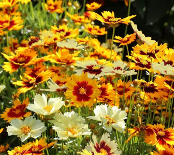 Cottage Farms 4-pc Uptick Coreopsis - M53270
