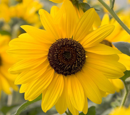 Cottage Farms Endless Blooms Sunfinity Sunflower