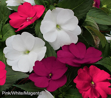Cottage Farms 2-piece Triple Crown SunPatiens - M57270