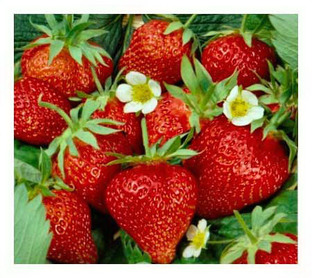 Cottage Farms 50 pc Cream of the Crop Strawberry Collection