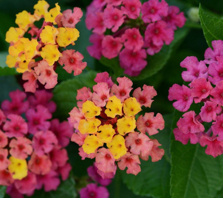 Cottage Farms 4-piece Bloomify Rose Lantana Collection
