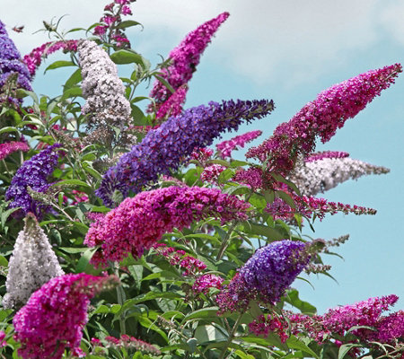 Cottage Farms Tricolor Deluxe Buzz Buddleia