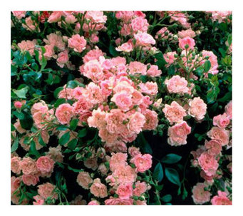 "Cottage Farms 6 pc ""The Fairy"" Roses - M103274"