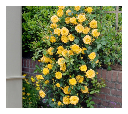 Cottage Farms 2-Piece Climbing Royal Gold Rose