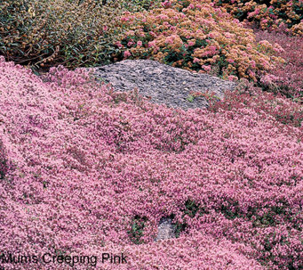 Roberta's 36-pc Trample Me English Creeping Thyme Pink - M49074
