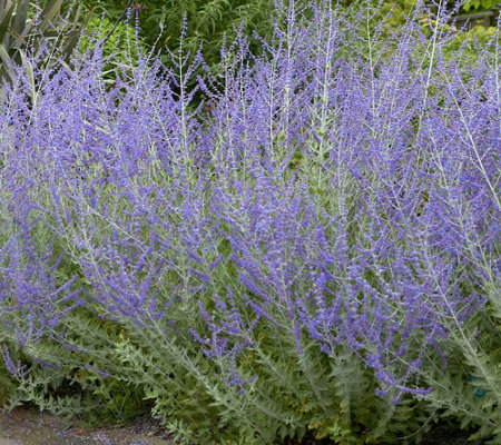 Roberta's 4-piece Little Spires Russian Sage