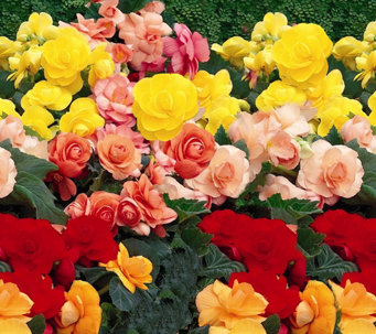 Roberta's 8-piece Jumbo Begonia Collection w/Fertilizer - M16675