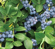 Cottage Farms Razz Blueberry