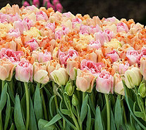 Roberta's 40 piece Dutch Masters Pastel Tulip Collection - M54875