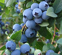 Cottage Farms Twice as Nice Sweetheart Blueberry - M53276