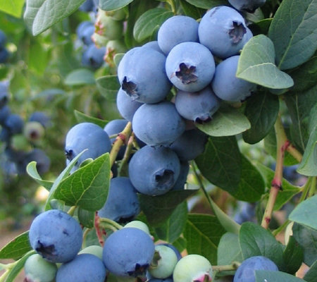 Cottage Farms Twice as Nice Sweetheart Blueberry