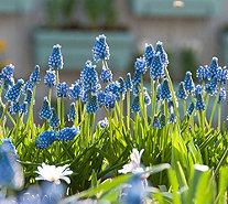 Roberta's 50 piece Magical Muscari Collection - M54876
