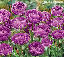 Roberta's 30 pc Lush & Plush Double Flowering Tulips - M54877
