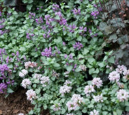 Roberta's 4-piece Shade Loving Lamium Groundcover